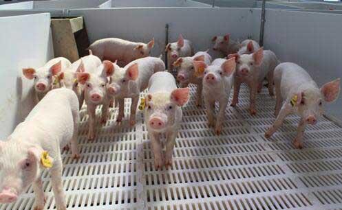 5万平养猪场供暖燃生物质锅炉